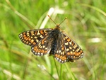 Hedepletvinge (Euphydryas aurinia)